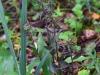 epipactis-purpurata-045