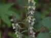 epipactis-purpurata-048