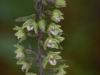 epipactis-purpurata-050