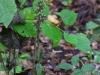 epipactis-purpurata-051