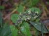epipactis-purpurata-054