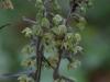 epipactis-purpurata-056