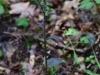epipactis-purpurata-066