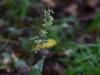 epipactis-purpurata-067