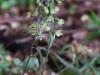 epipactis-purpurata-069