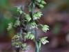 epipactis-purpurata-070