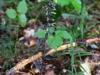 epipactis-purpurata-071