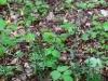 epipactis-purpurata-076