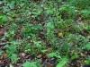 epipactis-purpurata-079