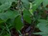 epipactis-purpurata-087