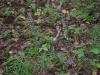 epipactis-purpurata-089