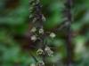 epipactis-purpurata-092