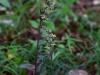 epipactis-purpurata-097