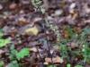 epipactis-purpurata-103