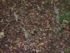 epipactis-purpurata-108