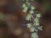 epipactis-purpurata-109