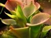 Heliamphora pulchella