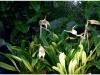 2017-05-13_14701-masdevalia-coriaceae