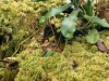 nepenthes-undulatifolia-1