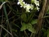 pinguicula-alpina-04-slovakija