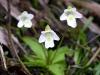 pinguicula-alpina-09-slovakija