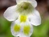 pinguicula-alpina-10-slovakija