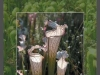 stewart-mcpherson-pitcher-plants-of-the-americas-0
