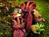 stewartmcpherson-pitcher-plants-of-the-old-world-00-2