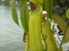 stewartmcpherson-pitcher-plants-of-the-old-world-18