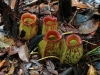 stewartmcpherson-pitcher-plants-of-the-old-world-22