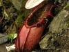 stewartmcpherson-pitcher-plants-of-the-old-world-23