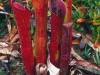 heliamphora-ceracea