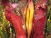 heliamphora-purpurascens-x-sarracenioides