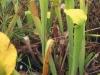 saraceniaceae-sarracenia-alata-f-viridescens