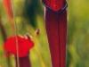 saraceniaceae-sarracenia-alata-var-atrorubra