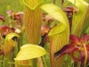saraceniaceae-sarracenia-alata-var-ornata
