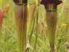 saraceniaceae-sarracenia-alata-var-rubrioperculata