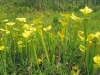 saraceniaceae-sarracenia-flava-f-viridescens