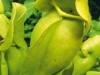 saraceniaceae-sarracenia-purpurea-ssp-venosa-var-venosa-f-pallidiflora