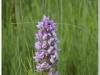 silenu-orchideju-pelke-2017-015