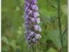 silenu-orchideju-pelke-2017-019