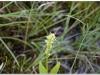silenu-orchideju-pelke-2017-082