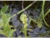 silenu-orchideju-pelke-2017-152