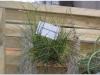 2017-05-13_14911-tilansia-juncifolia