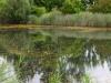 utricularia-australis-001
