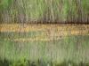 utricularia-australis-002