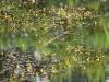 utricularia-australis-003