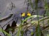 utricularia-australis-004