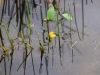 utricularia-australis-005