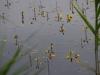 utricularia-australis-006